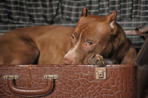 pit-bull-travel